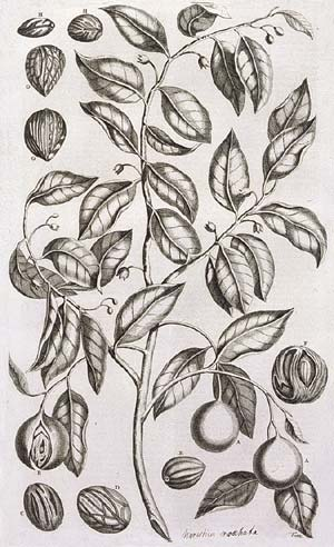 The nutmeg tree. Mace, which the VOC distributed to shareholders in the first dividend of 1610, is the covering of the seed of this tree (the nutmeg). Drawing by VOC employee-turned-botanist Georg Eberhard Rumphius, from his Amboinsche Kruidboek (Amsterdam 1741).